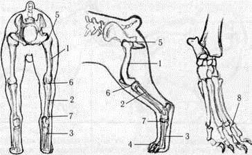 Коленный сустав у собак строение причины врожденной аплазии голеностопного сустава